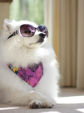 Meet Koda the Spitz, our 4 Ur Pawz Ambassador